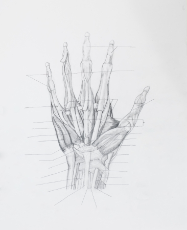 Detail of hand muscles tendons pencil drawing on white paper
