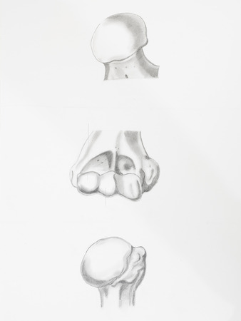 articular: Detail of articulation bones humerus femur pencil drawing on white paper
