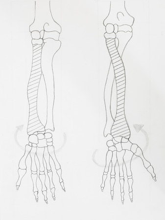Detail of arm bones pencil drawing on white paper