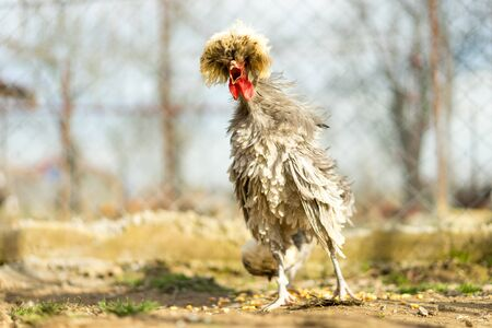 cackle: tufted blue chicken cackling with bristly feathers Stock Photo
