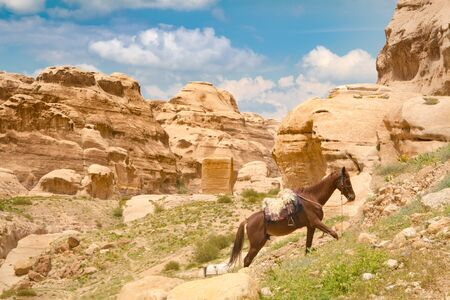 A saddled Arabian purebred horse is harnessed and pacing in the sun in Petra, Jordan. Such horses are used by local guides for tourist transportation. 新聞圖片