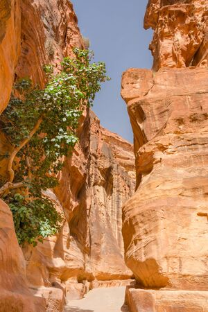 A tree growing on the walls of the Siq, seen from the trail to Petra