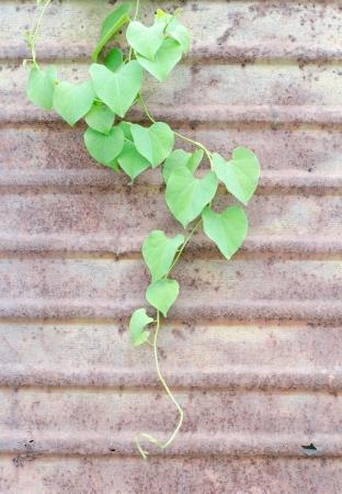 Climber plant on zince metal plate wall photo