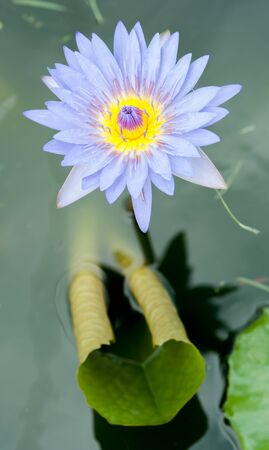 Close up of beautiful purple lotus blossom in pool Stock Photo