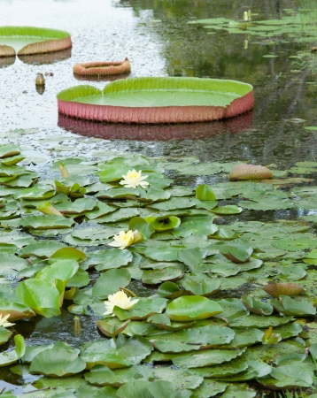 Giant leaves of the Victoria waterlily in pool photo