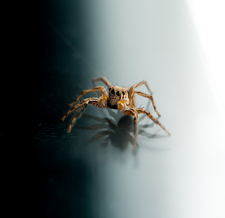 arcuata: Jumping spider Evarcha arcuata Stock Photo