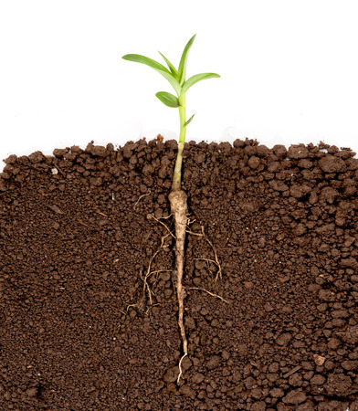 young plant: Growing plant with underground root visible Stock Photo
