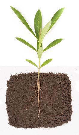 young plant with exposed roots in soil Stock Photo