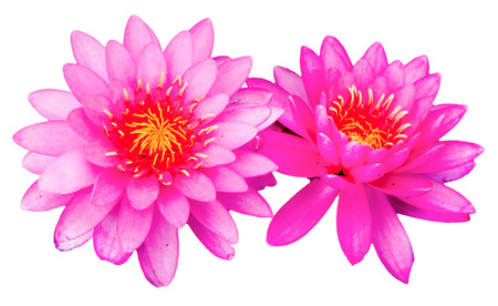 pink lotus flowers on white photo
