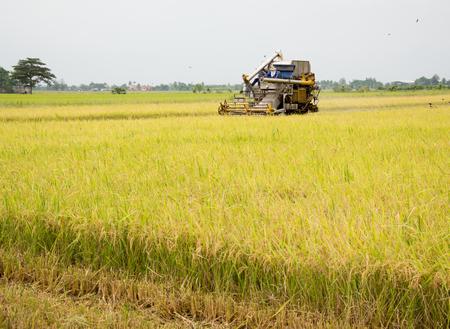 cosechadora: trabajador agrícola la cosecha de arroz con el tractor en Tailandia Foto de archivo