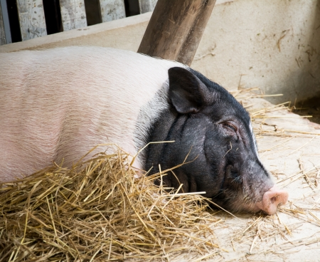 potbellied: sleeping pig