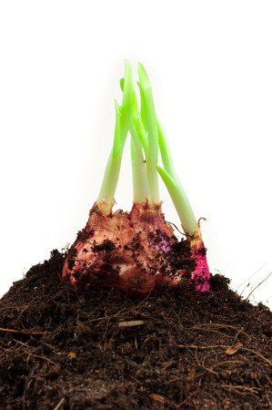 Spring onions in soil photo