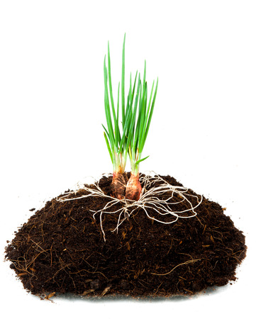 new sprout and dirt isolated on white(Onion) photo