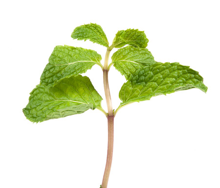 branch of mint photo