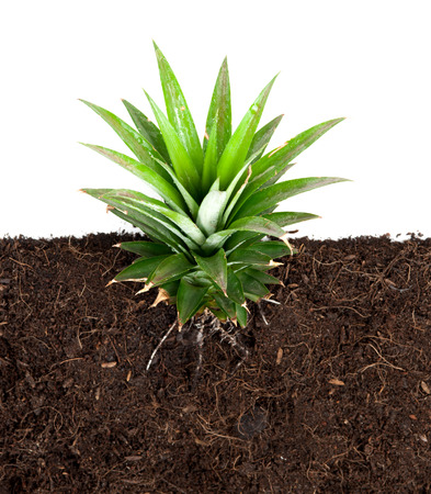 Growing plant with underground root visible photo