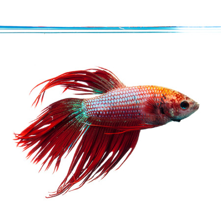 crown tail: Red crown tail siamese fighting fish, betta splendens.