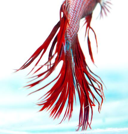 half moon tail: Red crown tail siamese fighting fish, betta splendens.