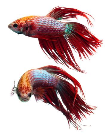 pez pecera: Corona cola roja peces luchadores siameses, splendens del betta. Foto de archivo