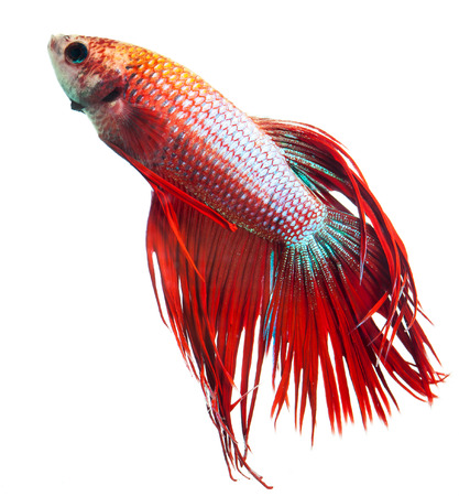 half moon tail: Red crown tail siamese fighting fish, betta splendens.