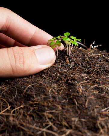 transplanting: Image of male hands transplanting young plant