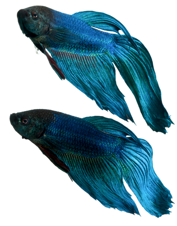 blue siamese: blue siamese fighting fish, betta fish isolated on white