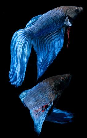 crowd tail: BETTA FISH on black background Stock Photo