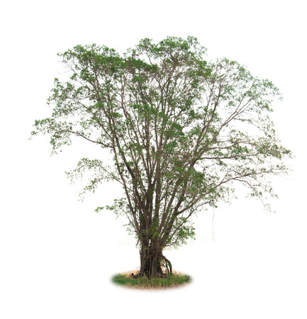 isolated deciduous tree on a white background photo