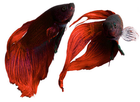 fire fin fighting: betta fish, siamese fighting fish isolated  Stock Photo