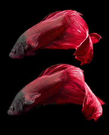 siamese fighting fish, betta fish  photo