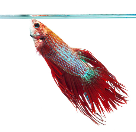 Red crown tail siamese fighting fish, betta splendens. photo