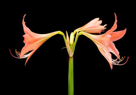 Amaryllis flowers photo