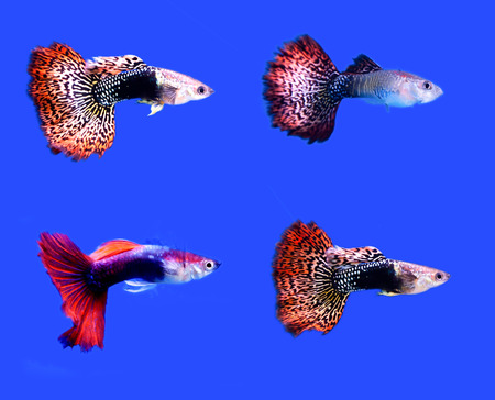 accosting: fish guppy pet isolated on blue background Stock Photo