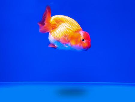 oranda: Goldfish in in blue screen Stock Photo