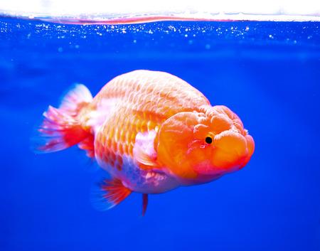 Goldfish in in blue screen photo
