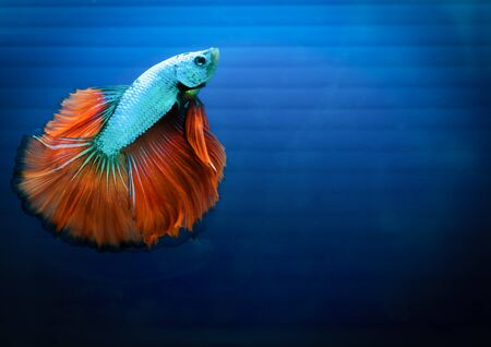 siamese fighting fish , betta isolated on blue background. photo