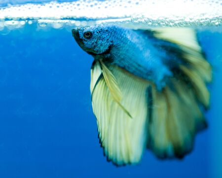 fire fin fighting: siamese fighting fish , betta isolated on blue background. Stock Photo