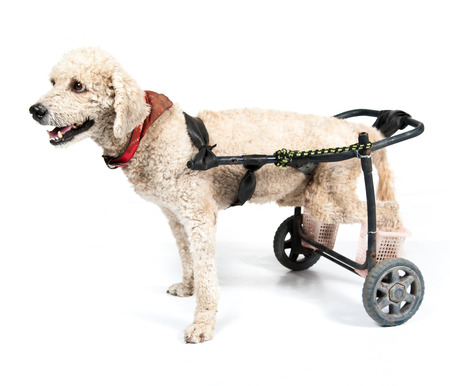 dog wheelchair: dog in a wheelchair in front of a white background