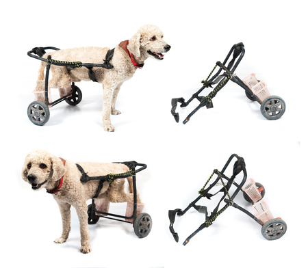dog in a wheelchair in front of a white background photo
