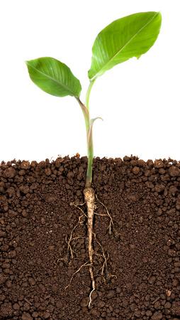 crecimiento planta: �rbol de pl�tano joven con ra�ces subterr�neas visible