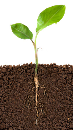 plant seed: Young banana tree with underground root visible Stock Photo