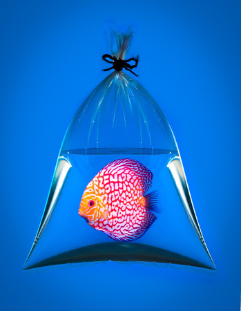 discus fish: Discus fish in plastic bag on blue