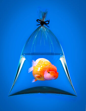 goldfish in plastic bag on blue  photo
