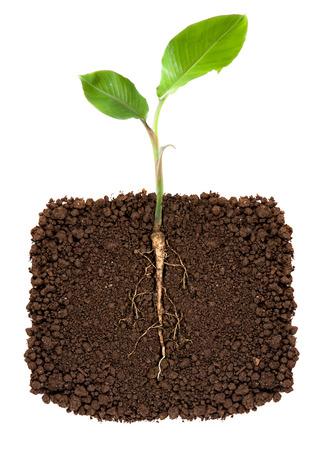 Young banana tree with root visible photo