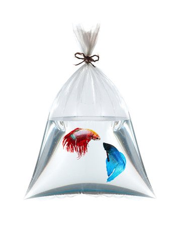 fighting fish in plastic bag on white  photo