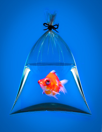 goldfish in plastic bag on blue  Stock Photo