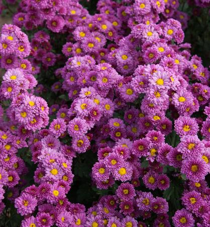 purple Chrysanthemums flowers photo