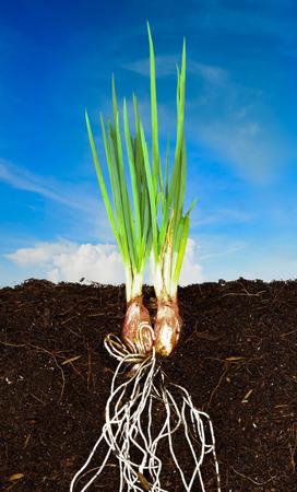 タマネギ成長植物で、地下のルート表示と青い空 写真素材