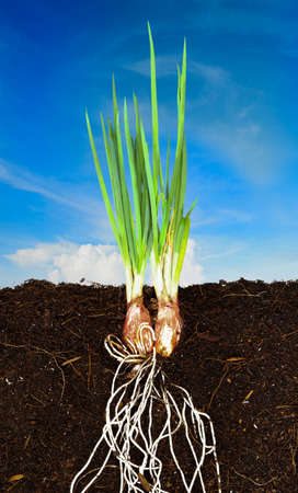Onion Growing plant with underground root visible and blue sky