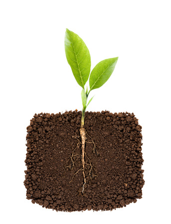 Growing plant with underground root visible Stockfoto