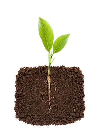 planta con raiz: Planta creciente con la ra�z subterr�nea visible